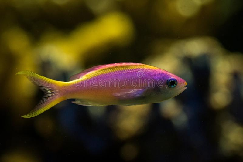 Purple Queen Anthias, Pseudanthias tuka, coral reef fish, Salt water marine fish, beautiful pink and yellow fish with tropical cor. Als in background, aquarium royalty free stock images
