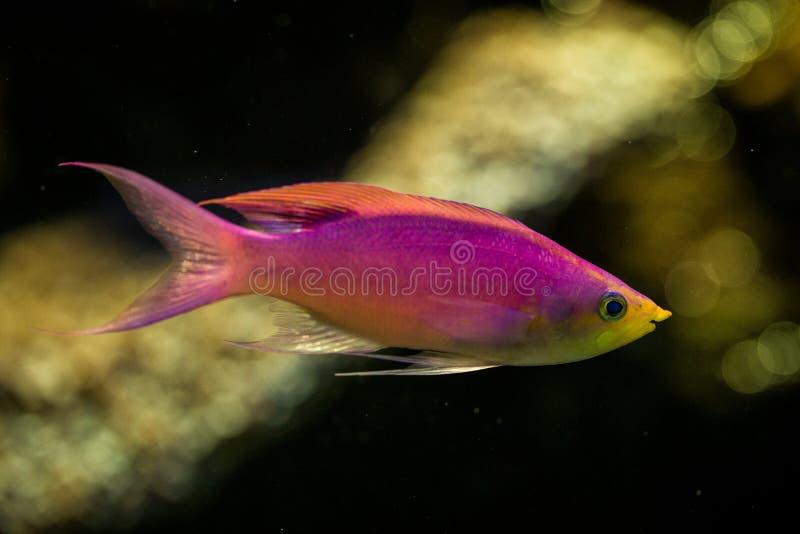 Purple Queen Anthias, Pseudanthias tuka, coral reef fish, Salt water marine fish, beautiful pink and yellow fish with tropical cor. Als in background, aquarium stock photo