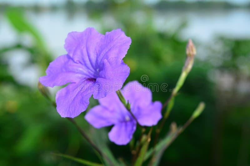 Purple rain. The surge blossoming purple rain royalty free stock images