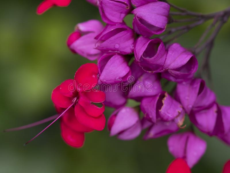 Purple and Red Balloon Flowers Macro stock images