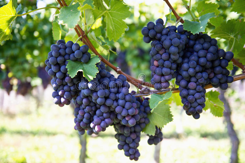 Purple red grapes with green leaves on the vine. Vine grape fruit plants outdoors stock photos