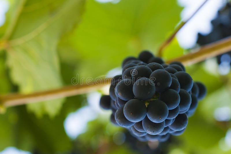 Purple red grapes with green leaves on the vine. Fresh fruits royalty free stock photography