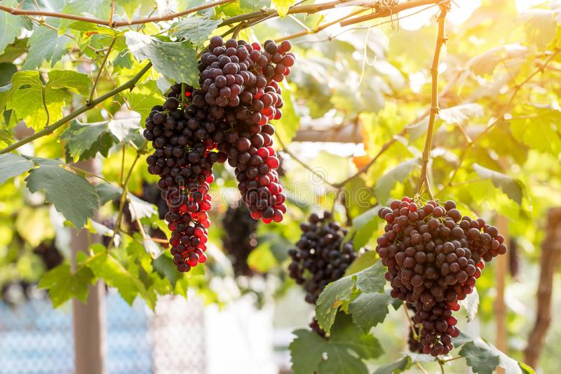 Purple red grapes with green leaves on the vine. fresh fruits.  stock images