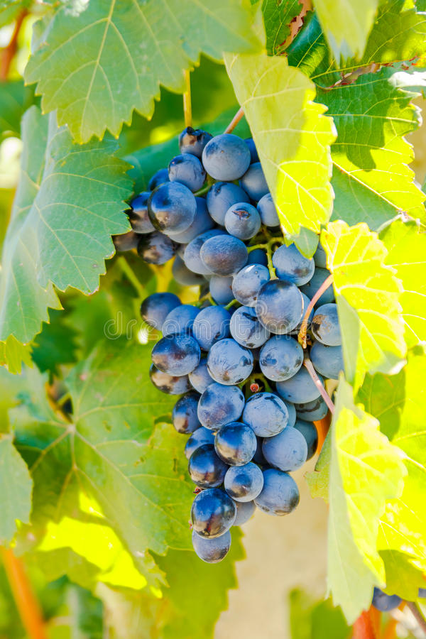 Purple red grapes with green leaves on the vine. Under the sun. fresh fruits royalty free stock photography