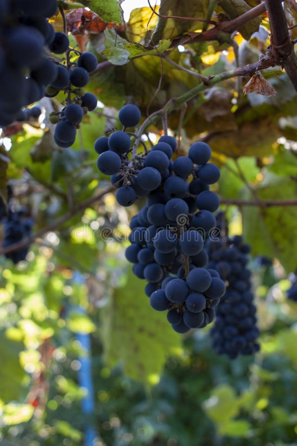 Purple red grapes with green and yellow leaves on the vine. fresh fruits. Selective focus royalty free stock photography