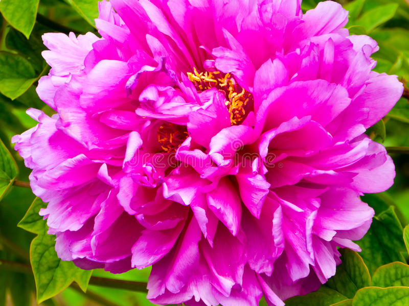 Purple red Peony flower blooming. Inside Tiantan Park Beijing China stock photos
