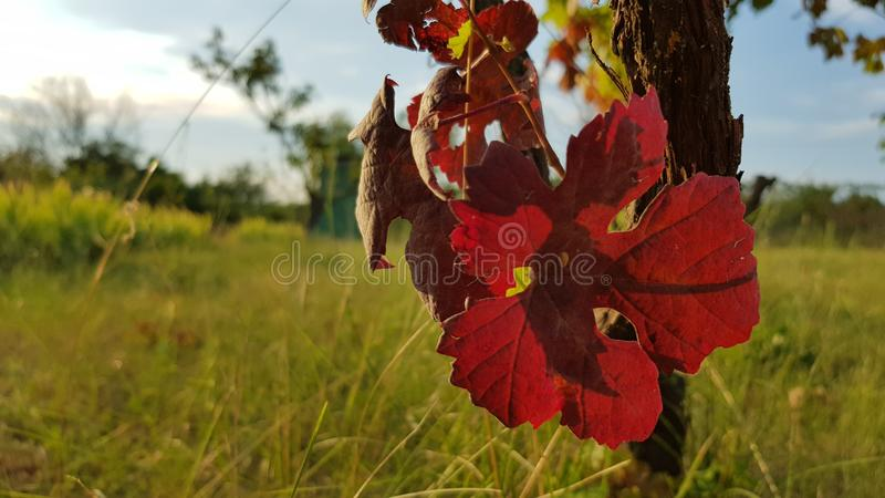 Purple red vine leaf in sunlight. Fall mood at vineyard. Grapevine growth. Winery concept stock photo