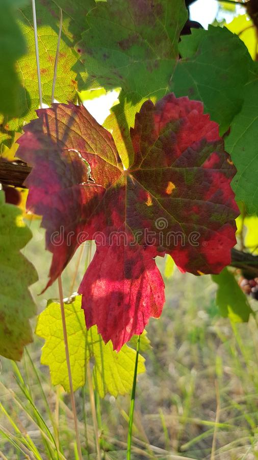 Purple red vine leaf in sunlight with green leaves. On background. Colorful grape leaf closeup among lush green foliage. Fall mood at vineyard. Grapevine growth royalty free stock photography