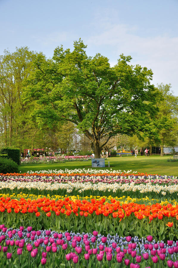 Download Purple, Red, White And Orange Tulips With A Tree Stock Photo - Image: 24613516