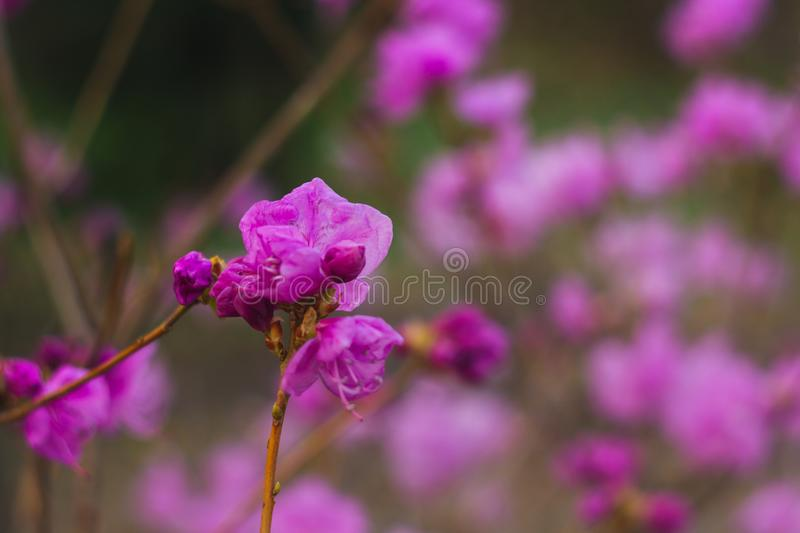 Purple rhododendron flower close-up on blurred background. flowering plant royalty free stock photos