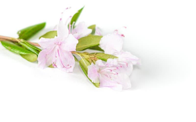 Purple rhododendron flowers Labrador tea on white background stock photos