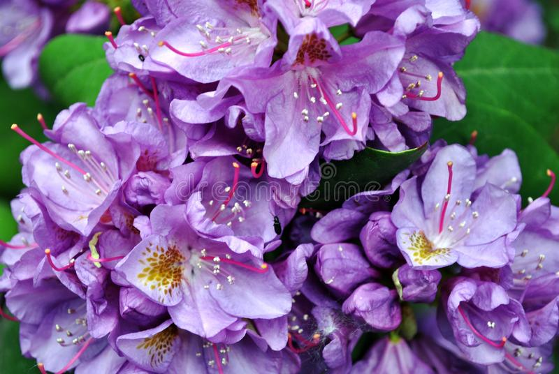 Purple rhododendron flowers with pink and yellow pistil and stamen, soft green blurry leaves background, top view close up stock photography