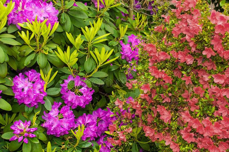 Purple Rhododendron and Red Azalea stock photography