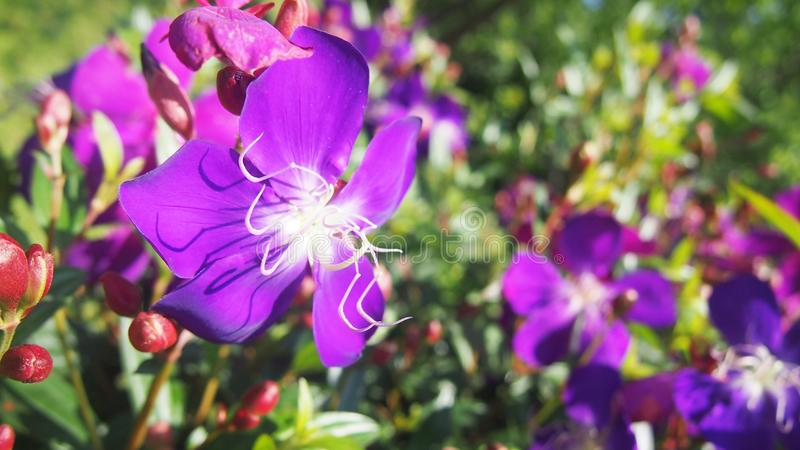 Purple Rhododendrons flowers at recreation park. Purple flowers Taiwan Yang Ming Shan Rhododendrons at recreation park royalty free stock images