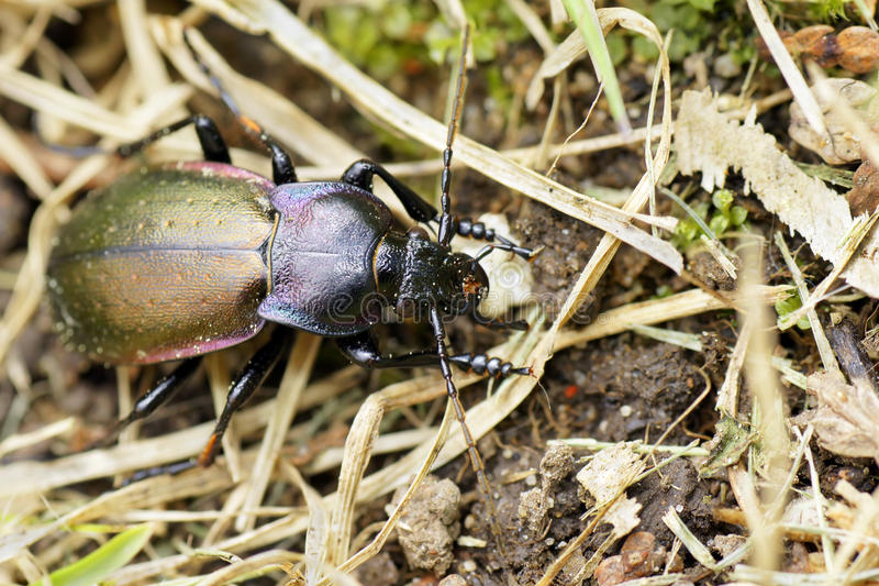 Download Purple-rimmed Carabus Beetle Top View Royalty Free Stock Image - Image: 19724036