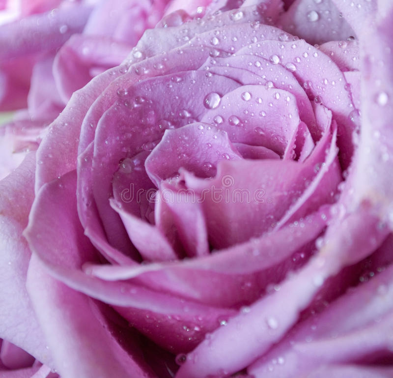 Download Purple Rose stock photo. Image of occasion, baby, breath - 12345626