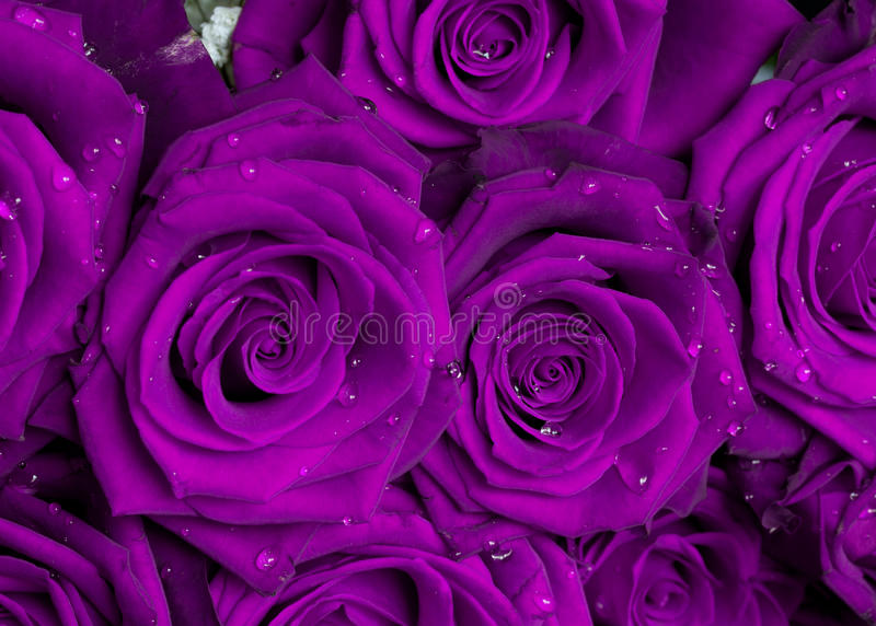 Purple rose bouquet royalty free stock photos