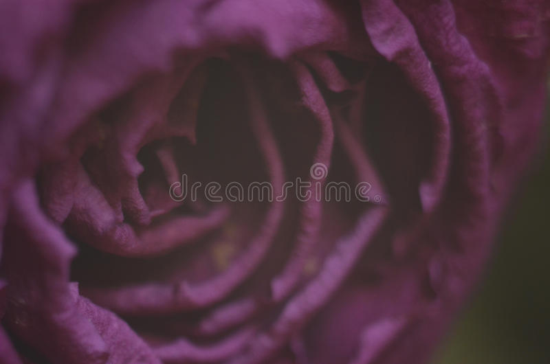 Purple rose. Closeup of a dried purple rose stock images