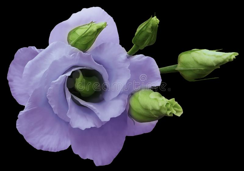 Purple rose flower on black isolated background. A bouquet of rose blooms with green rose buds. Closeup. Nature royalty free stock images