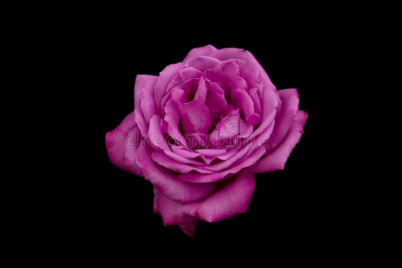 Purple Rose with plain background stock photo
