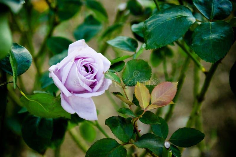 Purple rose - single purple rose. royalty free stock image