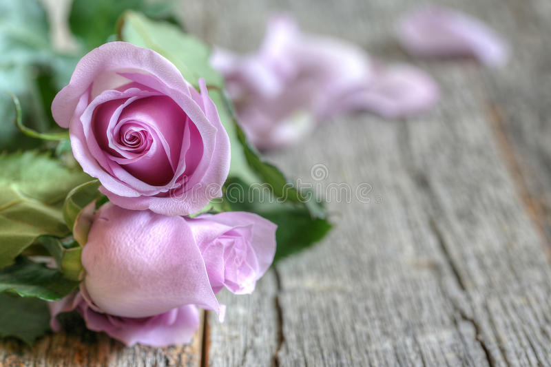 Purple Roses. Garden purple roses bouquet on rustic wooden table side view with copy space stock image