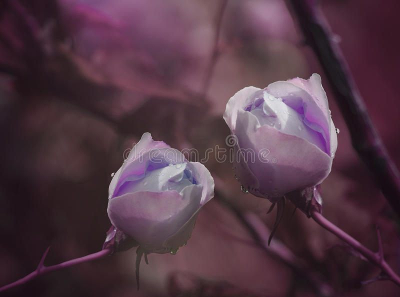 Purple Roses on a purple-pink background after a rain with drops of water. Close-up. Floral background. Nature royalty free stock photo