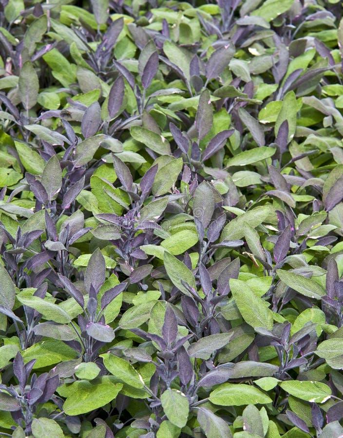 Purple sage stock image