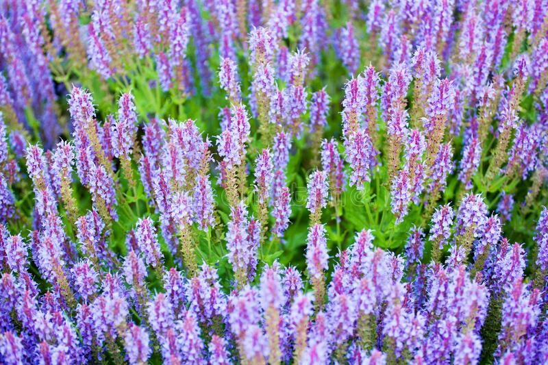 Purple sage flowers on green grass blurred background closeup, blooming violet salvia flower field, summer lavender landscape. Purple sage flowers on green grass royalty free stock images