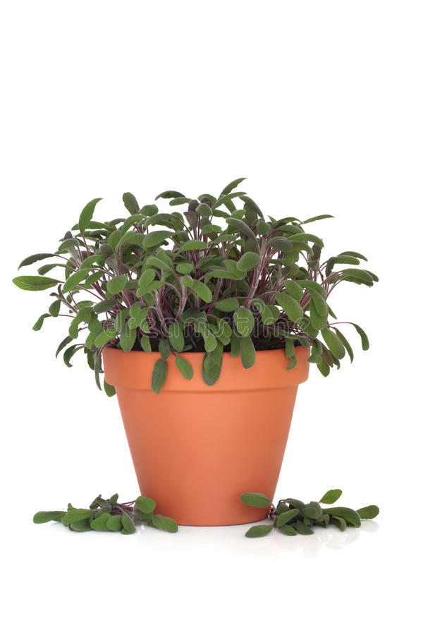 Purple Sage Herb Plant. In a terracotta pot with scattered leaf sprigs isolated over white background. Salvia officinalis royalty free stock image