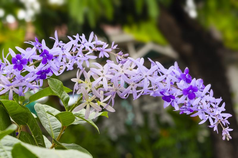 Purple sandpaper vine flower with theirs tree in garden. Petrea volubilis royalty free stock photography