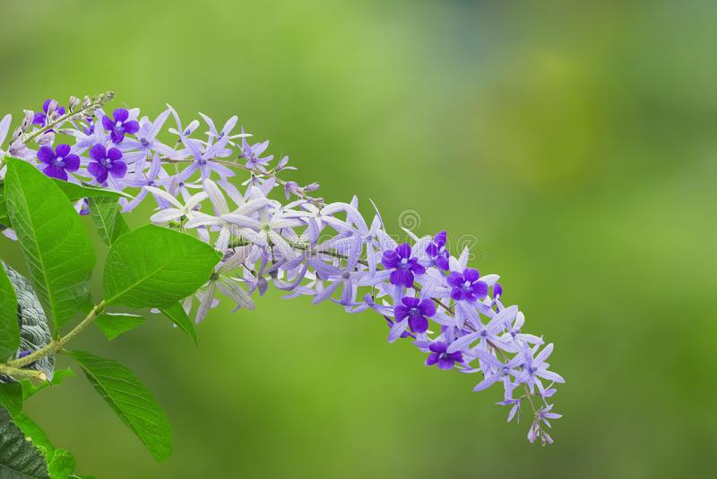 Purple sandpaper vine flower with theirs tree in garden. Petrea volubilis stock photos