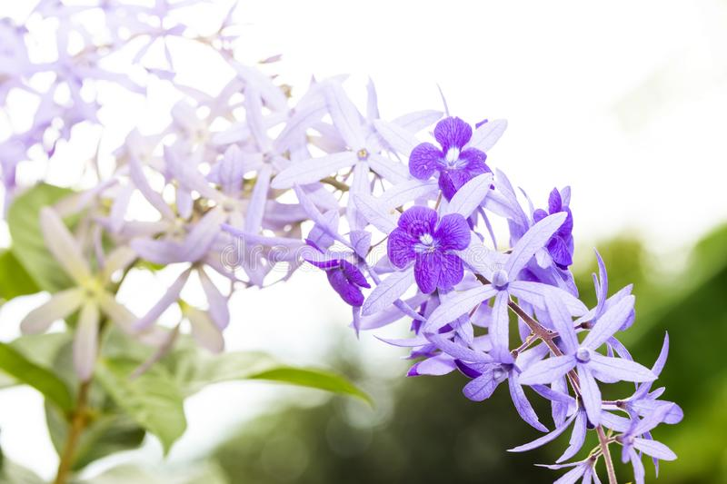 Purple sandpaper vine flower with theirs tree in garden. Petrea volubilis royalty free stock photo