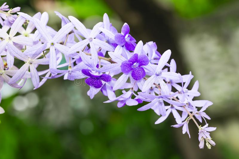Purple sandpaper vine flower with theirs tree in garden. Petrea volubilis royalty free stock images