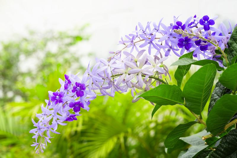 Purple sandpaper vine flower with theirs tree in garden. Petrea volubilis stock images