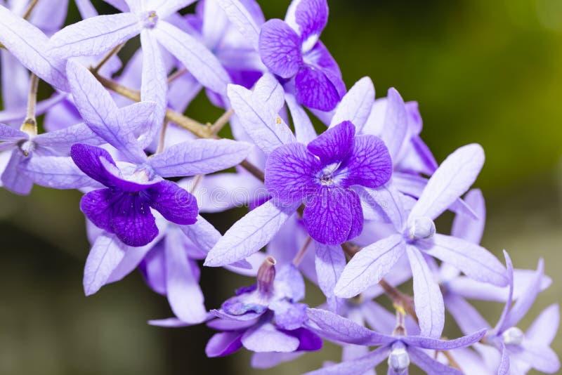 Purple sandpaper vine flower with theirs tree in garden. Petrea volubilis royalty free stock photos