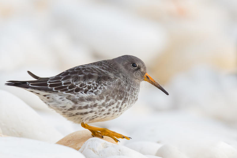 Purple Sandpiper on a rock. A Purple Sandpiper (Calidris maritima) in winter plumage, standing on a rock on a chalk pebble beach, against a blurred background royalty free stock photos