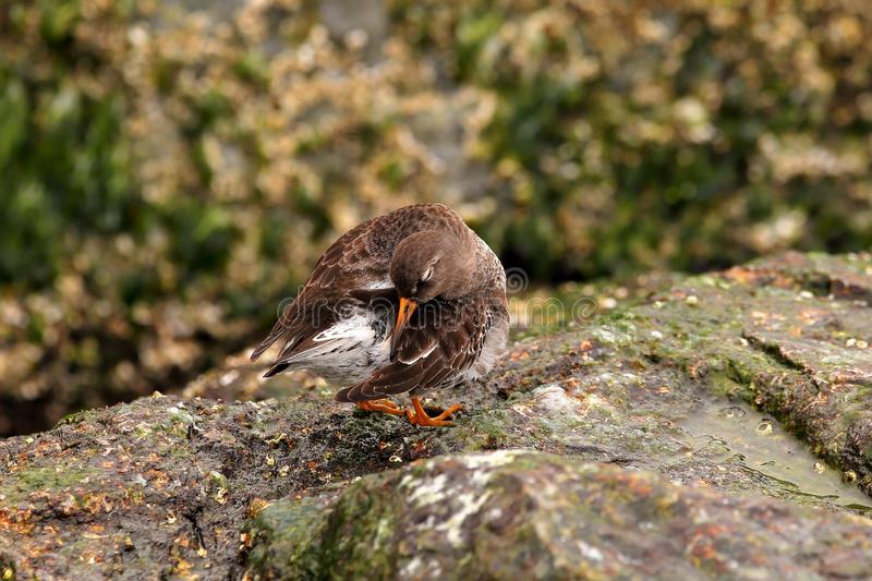 Purple Sandpiper sleeping. On the inlet rocks on a cold sunny winter morning. The Purple Sandpiper is not a common site as numbers have dwindled down royalty free stock images