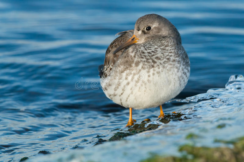 Purple Sandpiper. Standing in the shallow water stock photo