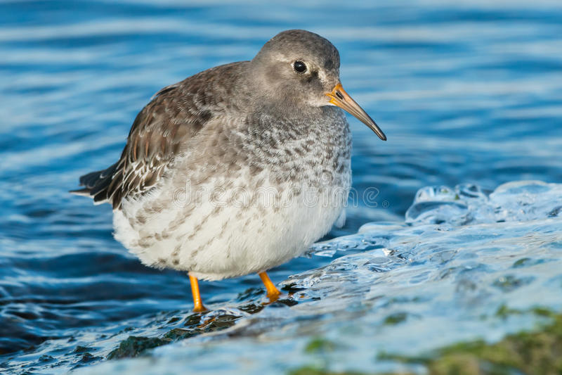 Purple Sandpiper. Standing in the shallow water stock images