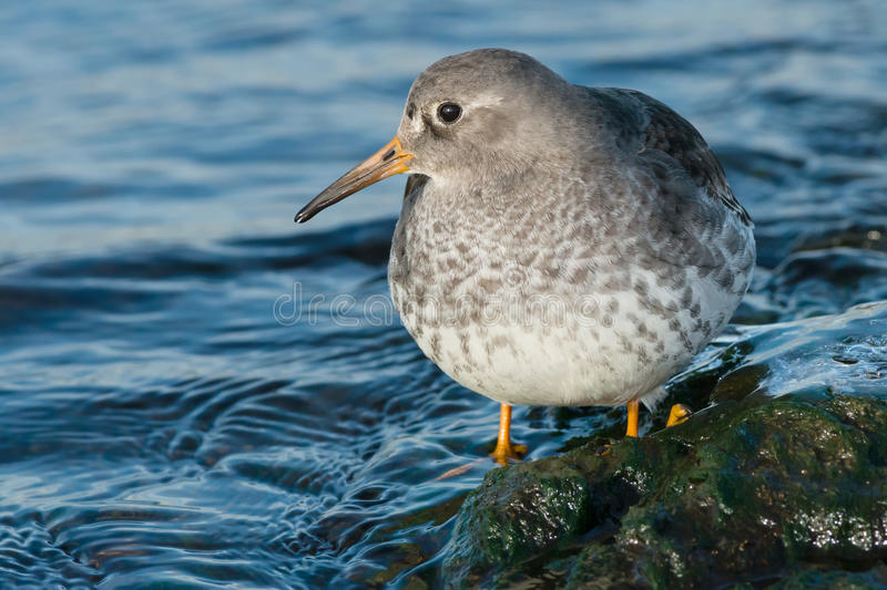 Purple Sandpiper. Standing in the shallow water royalty free stock photo