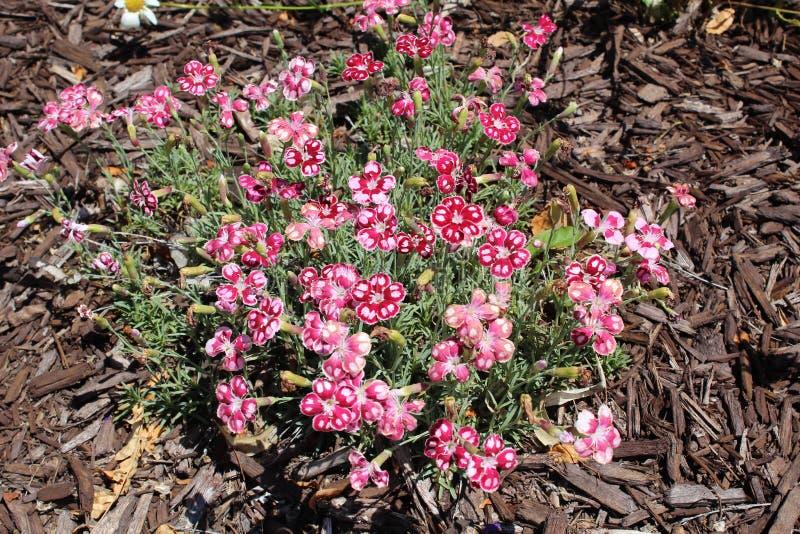 Purple saxifrage stock photos