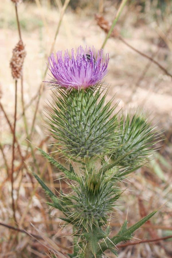 Scotch thistle, the symbol of Scotland royalty free stock photos