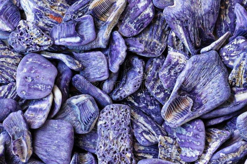 Purple seashell cluster natural color. Topview shot of purple seashells washed ashore. The natural colors at an Australian beach of the east coast
