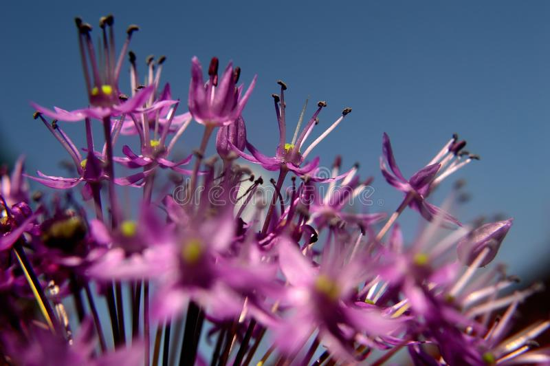 Ornamental Allium macro royalty free stock photos