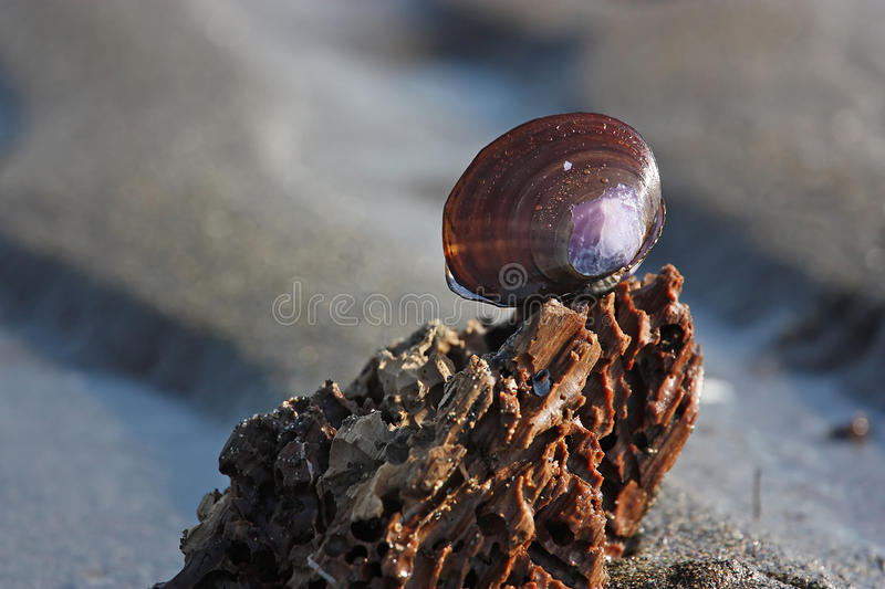 Download Purple Shell On A Relaxing Rippled Sand Beach Stock Image - Image: 14928347