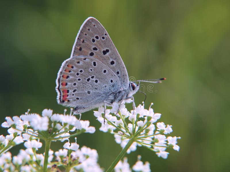 The purple-shot copper butterfly on beacked chervil flowers on green background. royalty free stock photography