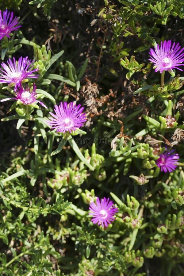 Purple Slenderleaf iceplant  in a Seattle garden. Purple Slenderleaf iceplant  ( Mesembryanthemum nodiflorum, family Aizoaceae ) in a Seattle garden, Washington stock photos