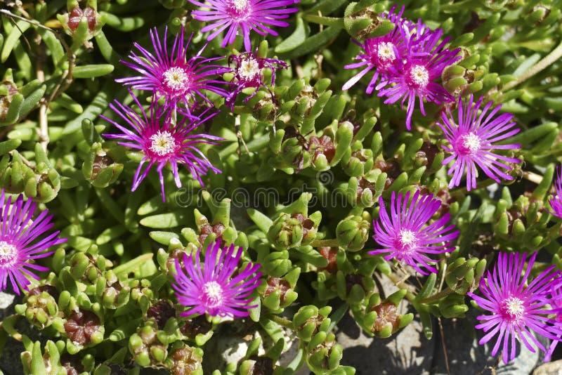 Purple Slenderleaf iceplant  in a Seattle garden. Purple Slenderleaf iceplant  ( Mesembryanthemum nodiflorum, family Aizoaceae ) in a Seattle garden, Washington stock photography