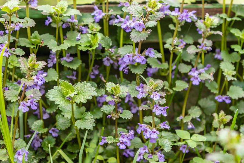 Purple small flowers are on a green background. Blooms Boudreau hederacea Glechoma hederacea . Floral background is from the. Purple small flowers are on a green royalty free stock photo